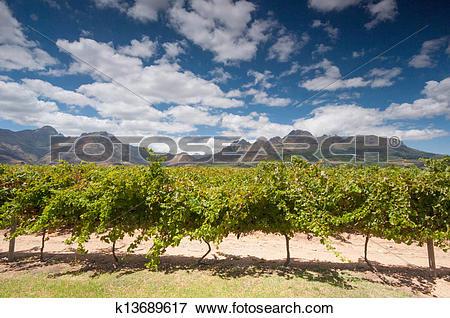 Picture of The Stellenbosch wine lands region near Cape Town.