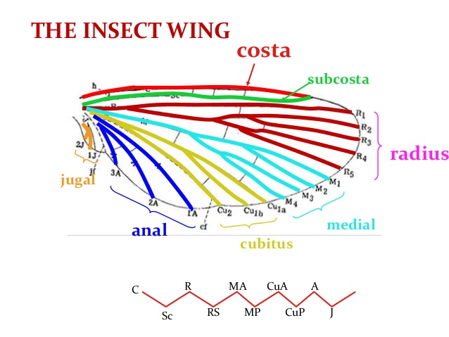 WING TYPES AND VENATION SSNAIK.
