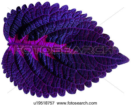 Picture of purple, leafage, venation, nerve, foliage, netted veins.