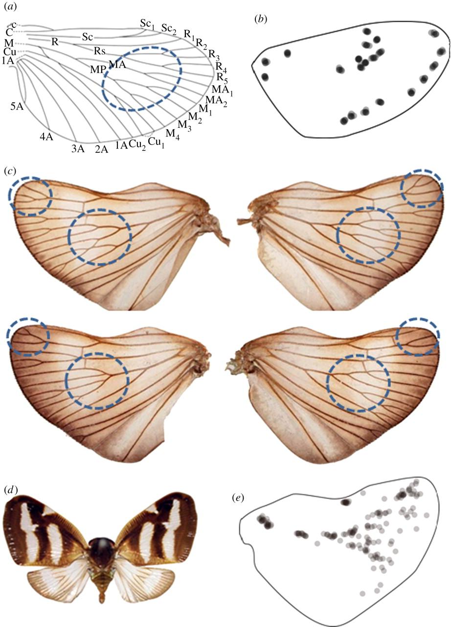 Wing vein patterns of the Hemiptera insect Orosanga japonicus.