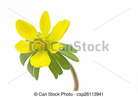 Stock Photo of Single blooming winter aconite (Eranthis hyemalis.