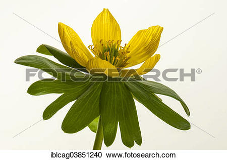 "Stock Photography of ""Winter Aconite (Eranthis hyemalis), Hesse."