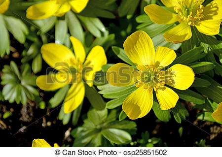 Stock Photography of Winter aconite, Eranthis hiemalis csp25851502.