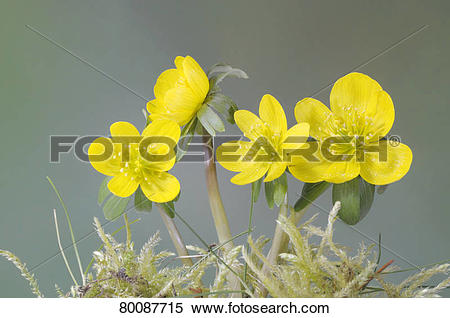 Stock Image of DEU, 2009: Winter Aconite (Eranthis hyemalis.