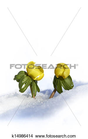 Stock Photo of Winter aconite (Eranthis hyemalis) popping up from.