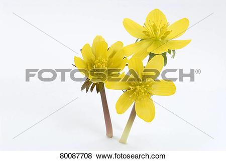 Pictures of DEU, 2007: Winter Aconite (Eranthis hyemalis), flowers.