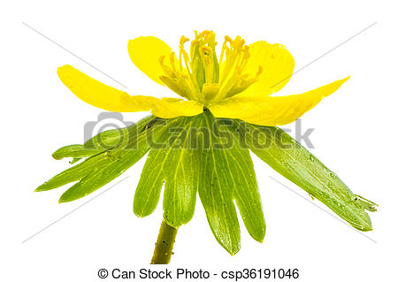 Stock Photo of Isolated yellow blossom of winter aconite flower.