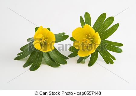 Pictures of winter aconite.