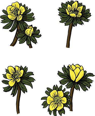 Winter Aconite Clip Art, Vector Images & Illustrations.