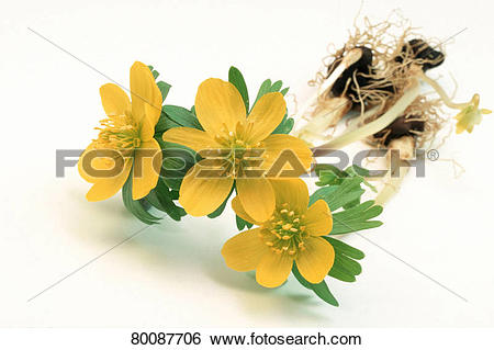 Stock Images of DEU, 2004: Winter Aconite (Eranthis hiemalis.