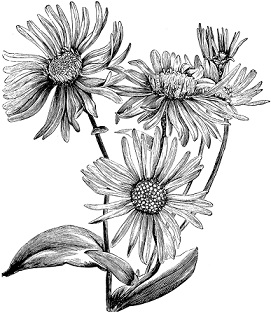 Free Aster Flower Clipart.