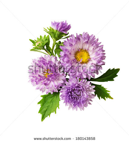 White Aster Stock Photos, Royalty.