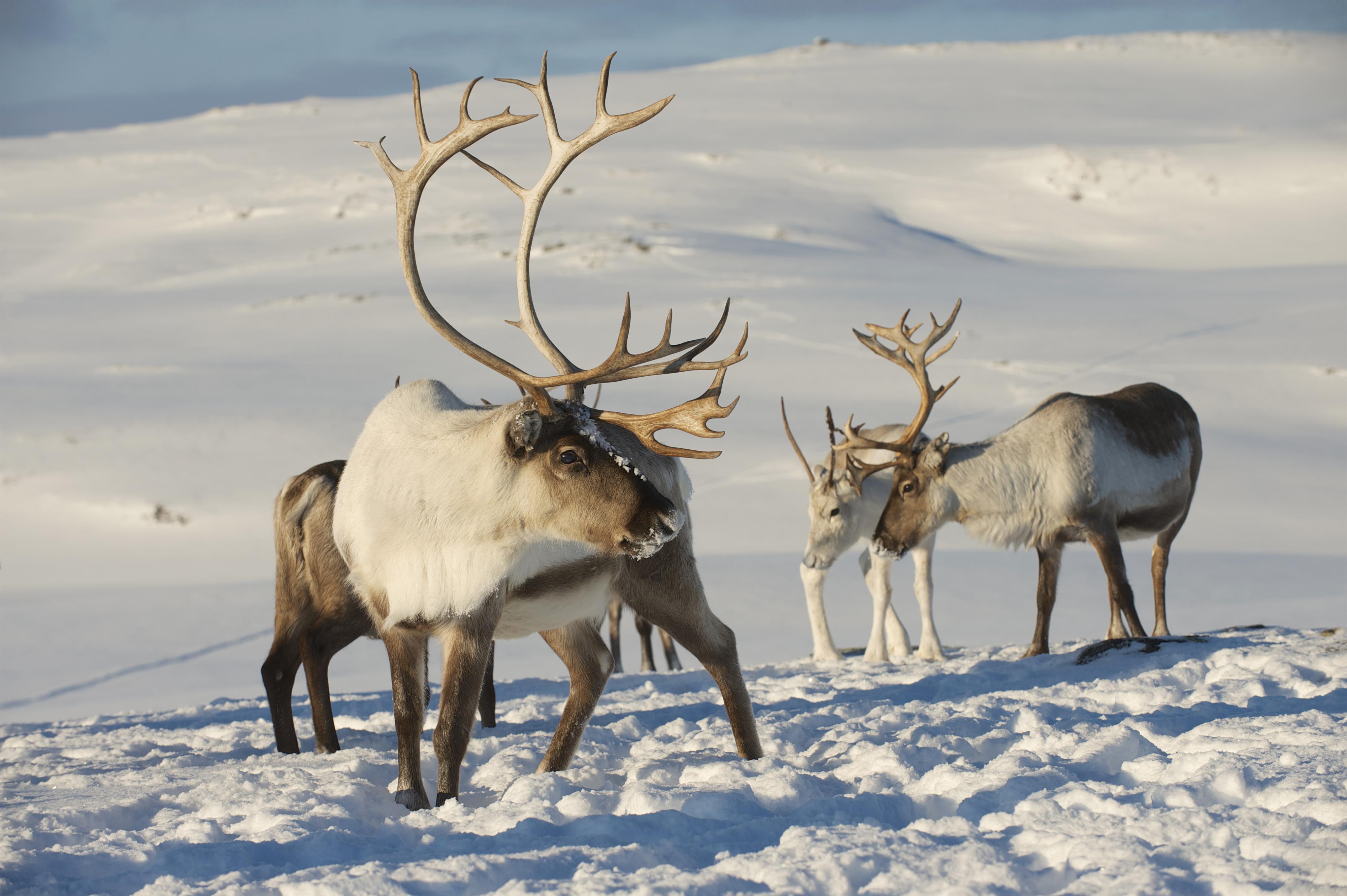 Rreindeers Winter Background.