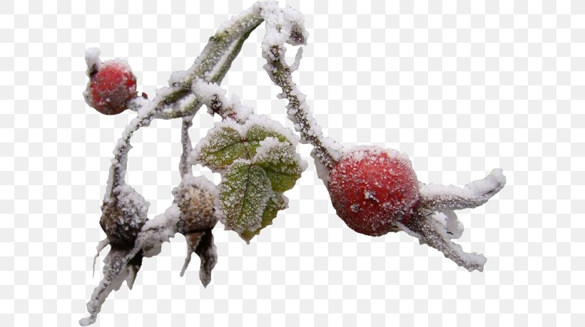 Snow Winter Branch Clip Art, PNG, 600x459px, Snow, Berry.