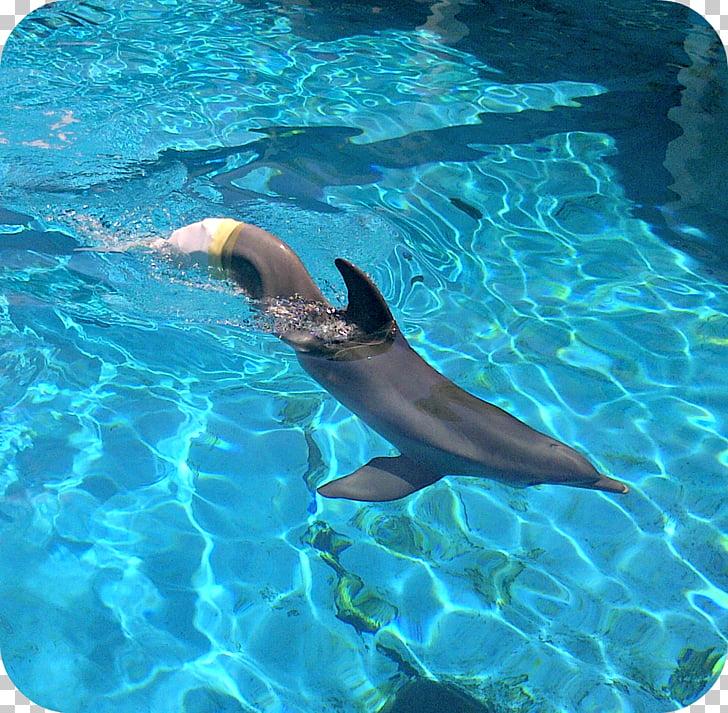 Common bottlenose dolphin Winter Clearwater Marine Aquarium.