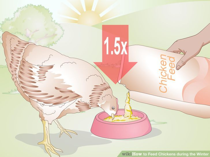 How to Feed Chickens during the Winter: 11 Steps (with Pictures).
