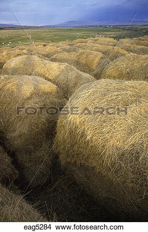 Stock Photo of BALES of HAY rolled to feed livestock during the.