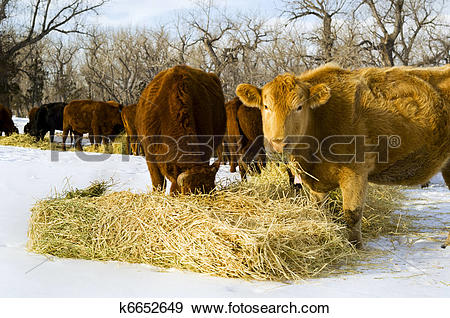 Stock Photograph of Cows feed on hay during winter k6652649.