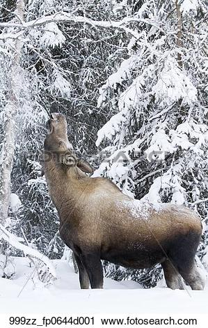 Stock Photography of Cow moose stretching to feed on snow covered.