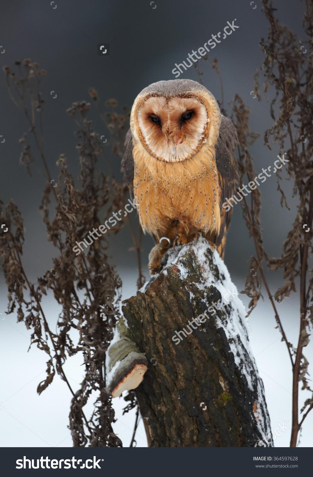 Winter Photo Tyto Alba Guttata Barn Owl Perched On Old Trunk.