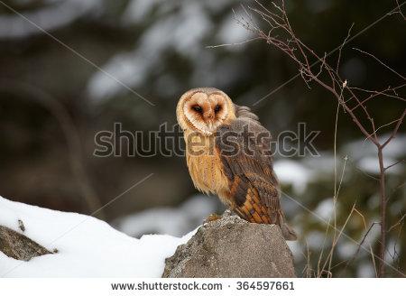 Winter Photo Tyto Alba Guttata Barn Stock Photo 364597661.