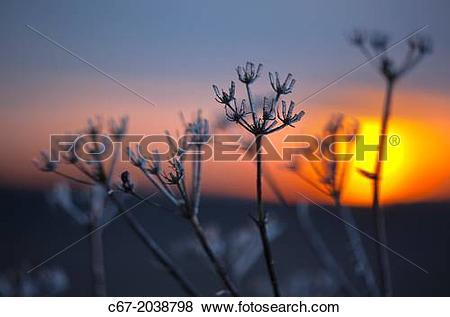 Pictures of Hedge Parsley Torilis japonica at sunset Winter c67.