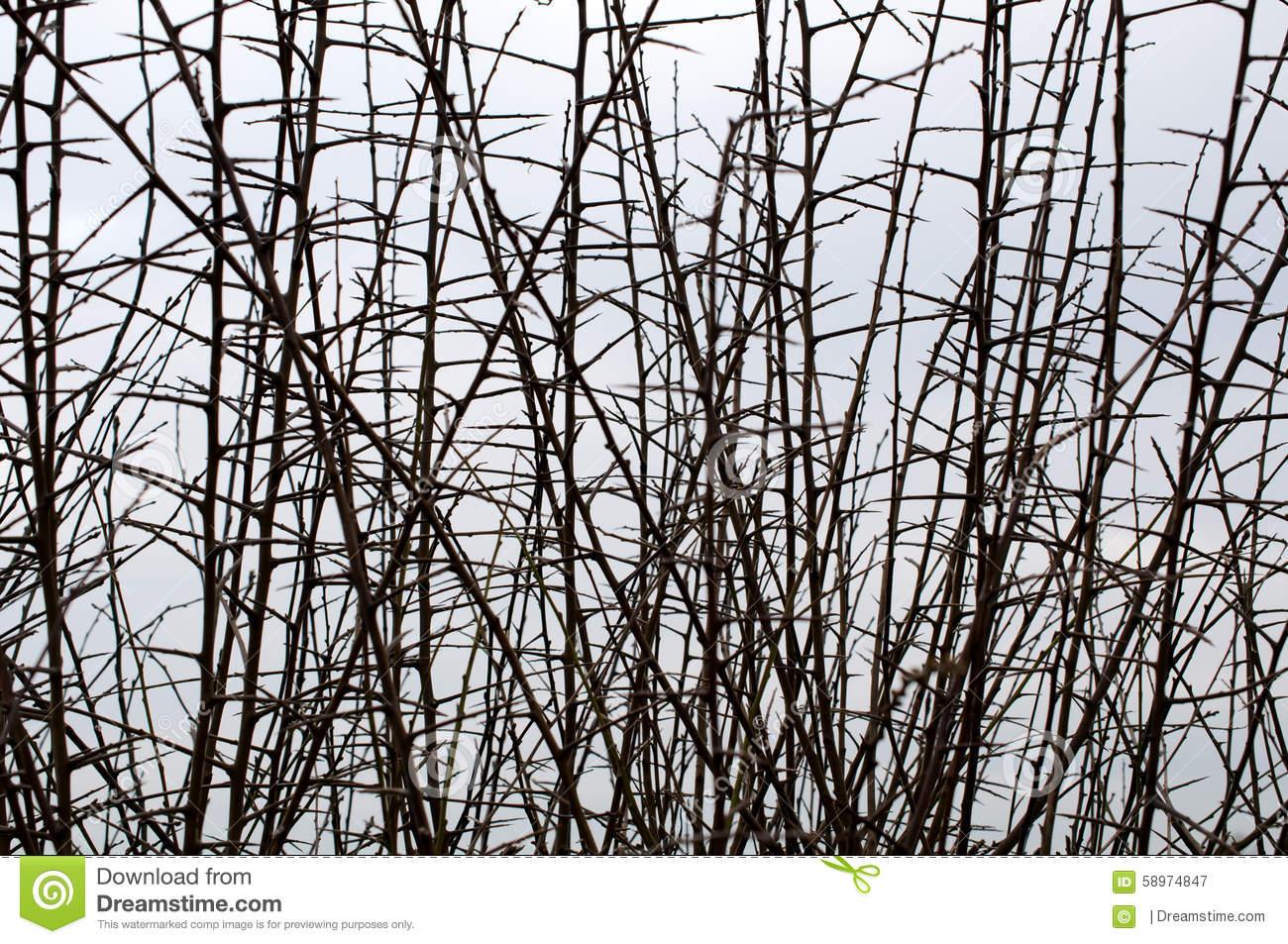 Hawthorn Hedge In Winter Stock Photo.