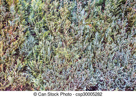 Pictures of Late winter hedge wall texture closeup csp30005282.