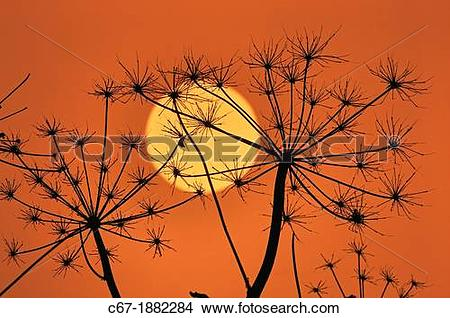 Stock Photo of Hedge Parsley (Torilis japonica) at sunset in.