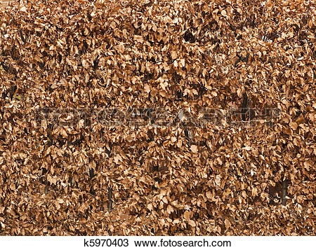 Stock Photo of background texture of winter beech hedge k5970403.