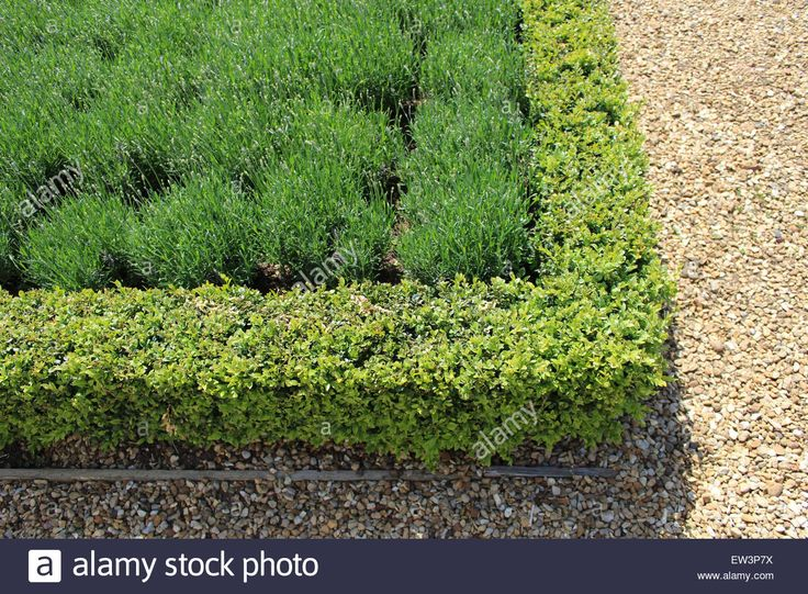 1000+ ideas about Lavender Bush on Pinterest.