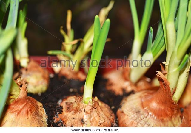 Spring Onion Illustration Stock Photos & Spring Onion Illustration.