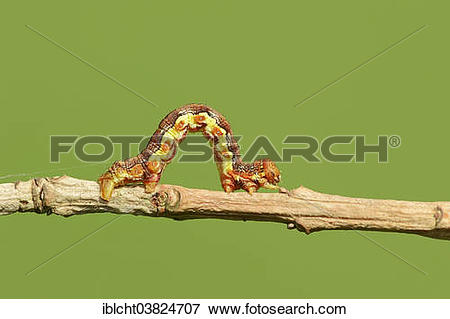 "Picture of ""Caterpillar, Great Winter Moth (Erannis defoliaria."