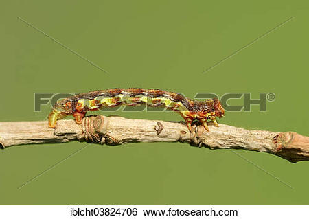 "Stock Images of ""Caterpillar, Great Winter Moth (Erannis."