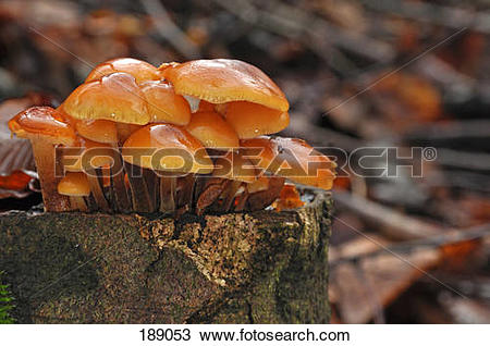 Stock Photo of Winter Mushroom, Velvet Shank(Flammulina velutipes.