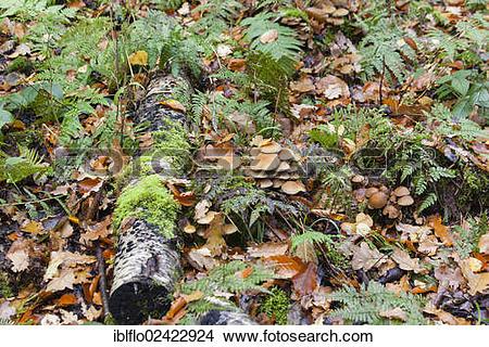 Stock Photo of Winter Mushroom, Velvet Stem, Velvet Foot or.