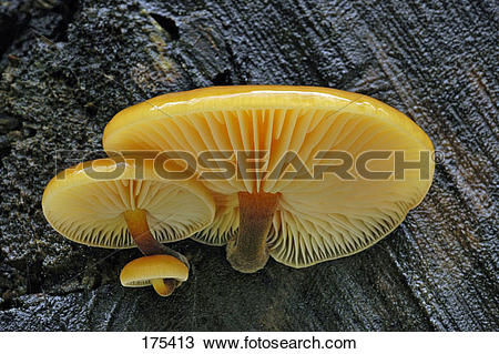 Stock Photo of Winter Mushroom, Velvet Shank (Flammulina velutipes.