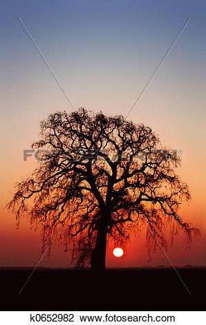 Stock Photo of Winter Oak Tree k0652982.