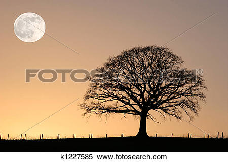 Stock Image of Winter Oak and Full Moon k1227585.