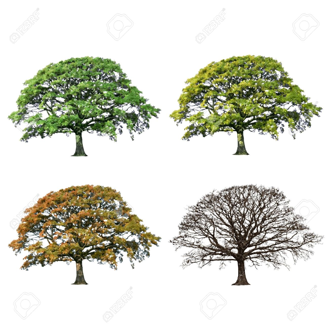 Oak Tree Abstract Illustration Of The Four Seasons, Spring, Summer.
