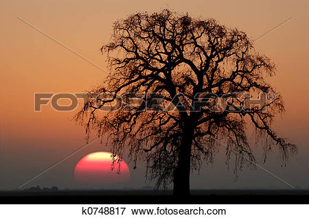 Picture of Winter Oak Tree and Setting Sun k0748817.