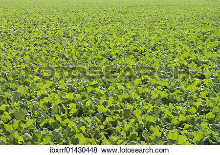 """Pictures of """"Winter oilseed rape, hibernating, frost."""