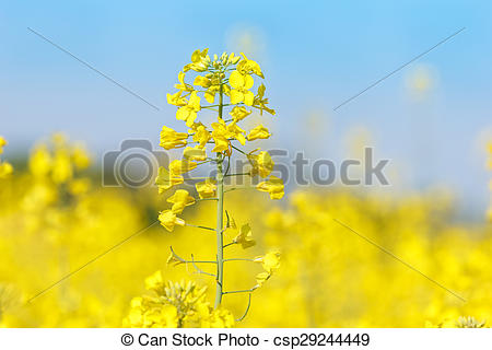 Stock Photo of Close up of oil seed rape blooming.