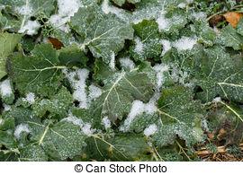 Stock Photo of Field oilseed rape in winter. Winter frost on.