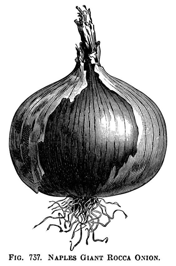 Onions Clip Art.