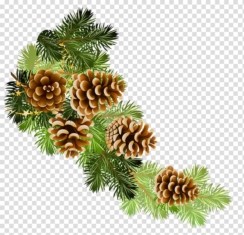Scots pine Conifer cone Fir , winter transparent background.