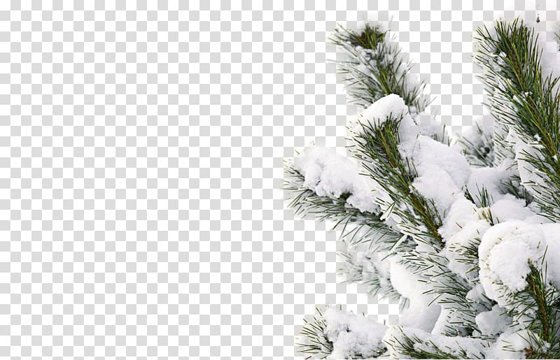 Snowy winter tree transparent background PNG clipart.