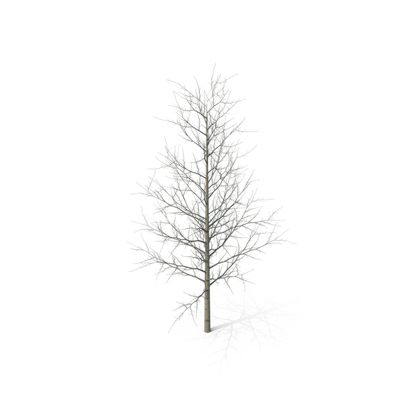 Young Yellow Poplar Tree Winter PNG Images & PSDs for Download.