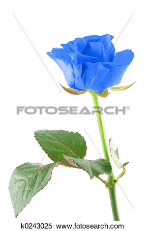 Stock Image of winter rose k0243025.