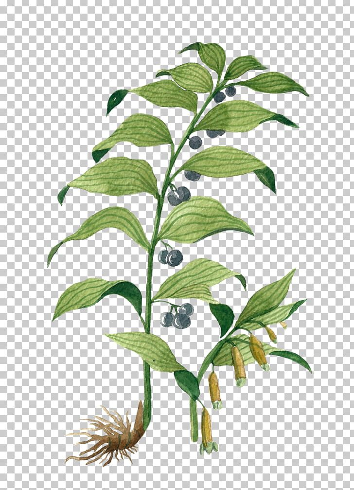 Medicinal Plants Angular Solomon\'s Seal Winter Savory Borage.
